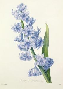 El jacinto, de Pierre-Joseph Redoute
